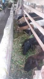 Vendo carneiras