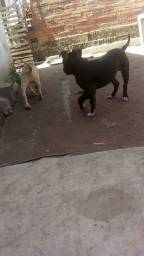 Pitbull macho e uma femea