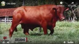 Venda de super touros senepol, reprodutores de repasse