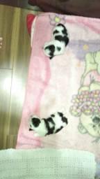 Lindos filhotes de lhasa, melhor preço de BH telefone de contato *