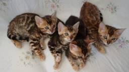 Gatos Bengais Filhotes (Inteiros) acima de 3 meses de idade com Pedigree e Pronta Entrega