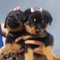 Rottweiler fêmeas disponível