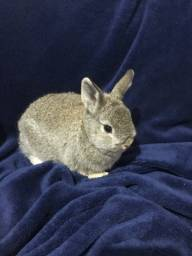Título do anúncio: Vendo filhotes de coelho anão