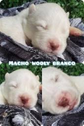 Título do anúncio: Husky siberiano wooly