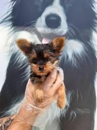Yorkshire Terrier Vacinados e Vermifugados!