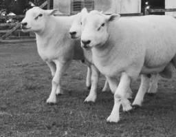 Carneiros, borregos, ovelhas texel