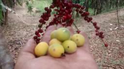 Jaboticaba amarela (cabeludinha)