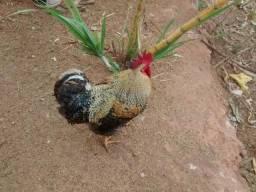 Vendo ou troco por galinha Galo novo Carijó Gigante