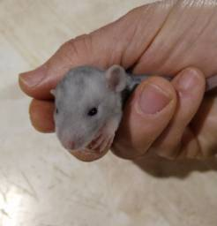 Ratinho de Laboratório / Camundongo / Dongo / Mercol / Twister / Dumbo / Blue / Rato / Rex