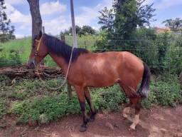 Vendo cavalo manço é castrado 5 anos