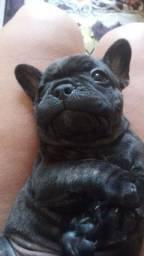 Filhote Bulldog Frances macho/ Coronel Fabriciano