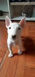 Bull Terrier(Macho)