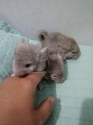Bebês Chinchila!