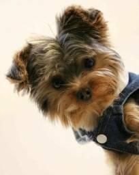 ¥orkshire Terrier femeas e machos disponíveis