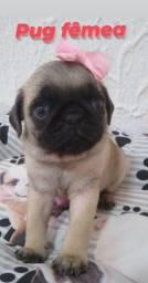Maravilhosa bebê de Pug a pronta entrega