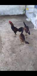 2 galinha e 1 galo de raça