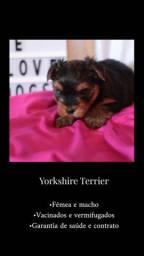 Yorkshire fêmea