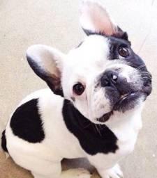 Bulldog Francês uma excente cãopanhia