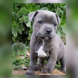 Pitbull fêmeas e machinhos já vacinados com todas garantias em contrato