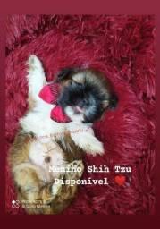 Shih Tzu Machinho Disponível p reserva