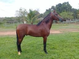 Cavalo castrado e registrado na ABCCMM