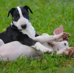 Belos filhotes de Bull Terrier