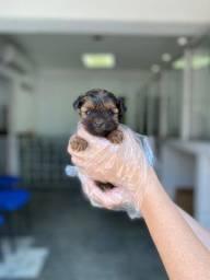 Yorkshire Terrier com garantia de saúde, até 12x sem juros!