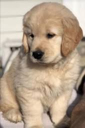 Lindissimos filhotes de Golden Retriever