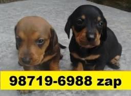 Canil Maravilhosos Filhotes Cães BH Basset Beagle Shihtzu Lhasa Yorkshire Maltês