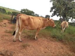 2 vacas