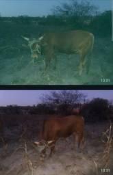 Vaca e boi