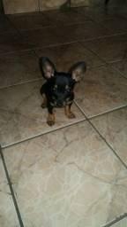 Cachorra Pincher