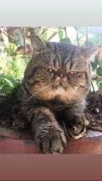 Casal de gatos exóticos (persa pelo curto)