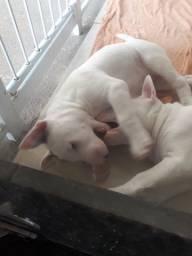 Bull terrier fêmeas vacinadas e vermifugadas