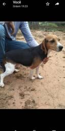 Fêmea de beagle