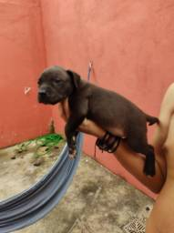 Vendo filhote de pitbull 37 dias de vida