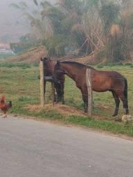 Vendo cavalo marchador, marcha picada manso e quente