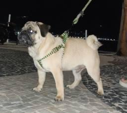 Cachorro pug