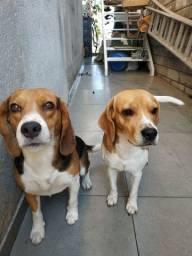 Filhotes beagle tricolor nascido dia 10/11