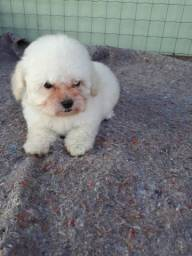 Poodle micro toy macho