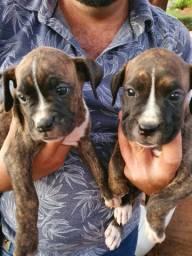 Filhote de cachorro boxer