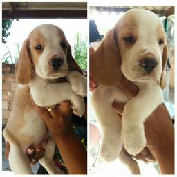 Beagle bicolor macho