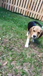 Beagle filhote LeIA o Anúncio