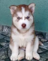 Husky Siberiano - Filhotes Lindos e Saudáveis