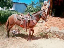 Vendo uma mula boa