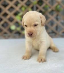 Título do anúncio: Labrador chocolate/amarelo/preto, machos e fêmeas com garantias e suportes exclusivos!