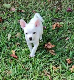Chihuahua Fêmea filhote