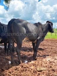 Vacas de leite de 1ª a 3ª cria.