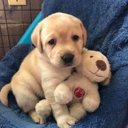 Labrador - filhotes lindos!!!