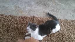 Estou doando meu gato Wait pois trabalho muito e não tenho tempo mais prã pode cuida dele